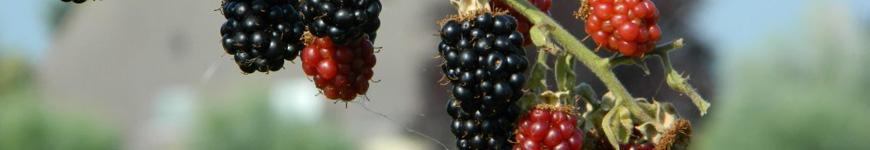 Bramenstruik, Bramenstruiken, Rubus fruticosus