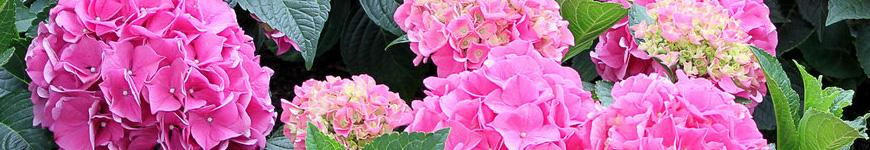 Hortensia, hortensia's, hortensia soorten
