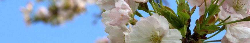 Japanse sierkers, Prunus serrulata