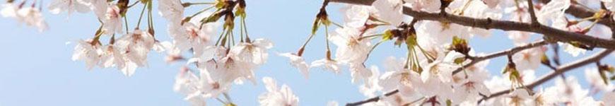 Kersenboom kopen, kersenbomen