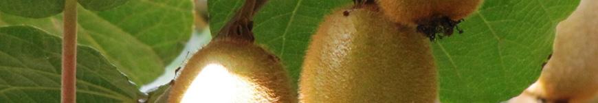 Kiwibes en Kiwiplanten