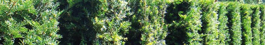 Taxushaag, Taxus baccata