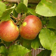 Malus elstar appelboom