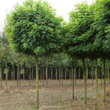 Robinia pseudoacacia Umbraculifera - Bolacacia