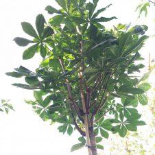 aesculus umbraculifera