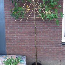 Liquidambar worplesdon leiboom stamhoogte 150 cm