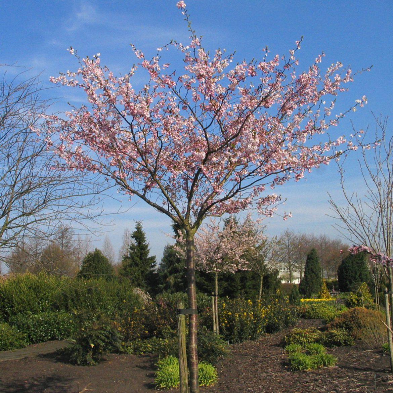 Japanse sierkers Prunus Accolade Bolboom