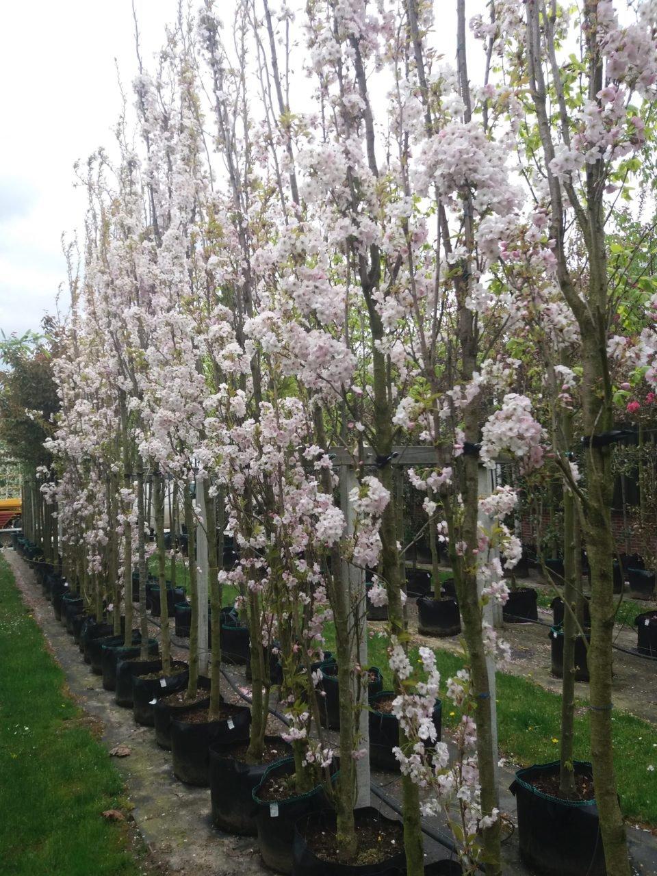 Prunus Serrulata Amanogawa Zuilvormige Boom
