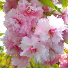 Japanse Sierkers Prunus Serrulata Fughenzo Bolboom