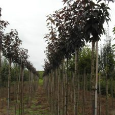 Prunus Royal Burgundy Japanse sierkers