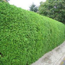 Coniferenhaag Thuja occidentalis 'Brabant'