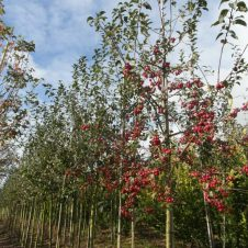 Malus Red Sentinel Sierappel