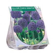 Sierui / daslook Allium Purple Sensation