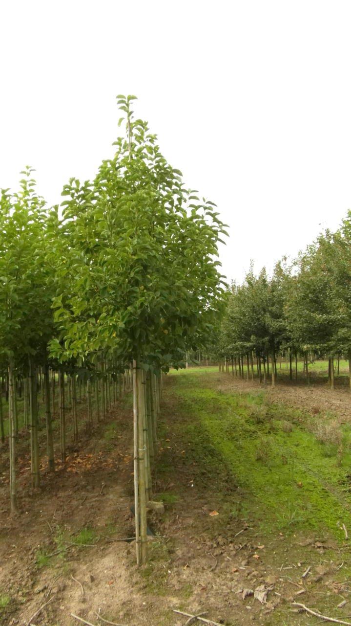 Magnolia Kobus Beverboom