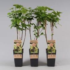 Ribes Jostaberry