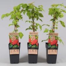 Rubus idaeus malling promise