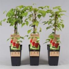 Rubus idaeus zefa herbsternte