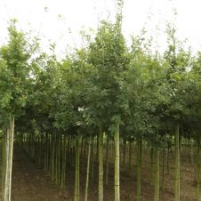 Quercus robur Zomereik, Inlandse eik