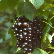 ribes black reward