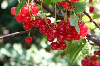 ribes rotet