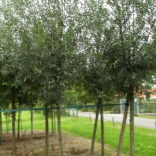 Salix Alba, Witte knotwilg – stamomtrek 25-30 cm