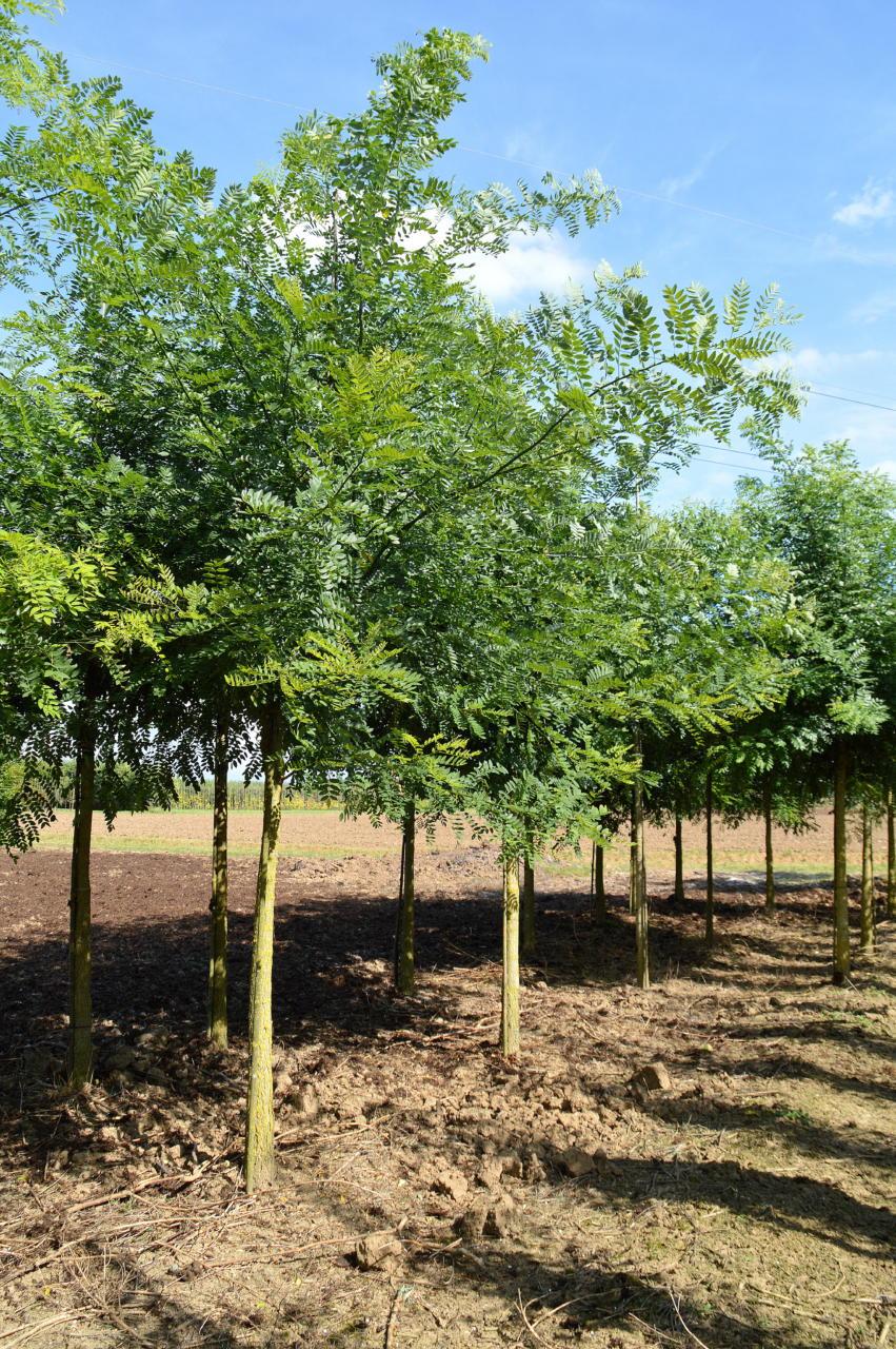 Sophora Japonica Honingboom Onlineplantenshop Nl