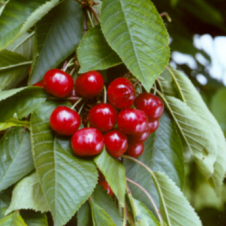 prunus avium castor kersenboom