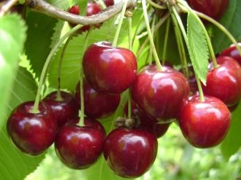 prunus avium merchant kersenboom