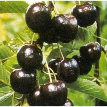 prunus avium regina kersenboom