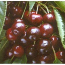 prunus avium varikse zwarte kersenboom