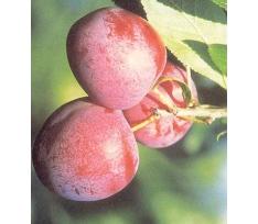 prunus domestica excalibur pruimenboom