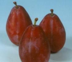 prunus domestica hongaarse kwets pruimenboom