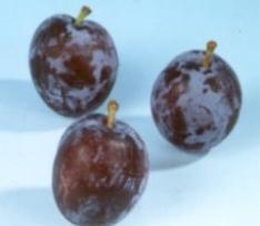 prunus domestica sanctus hubertus pruimenboom