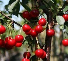 prunus rhein schattenmorel kersenboom