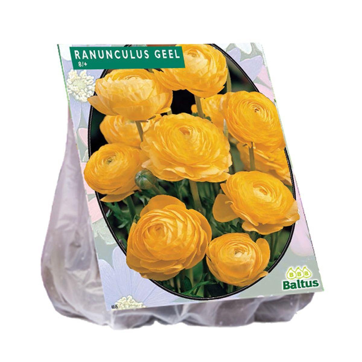 Reuze ranonkel geel