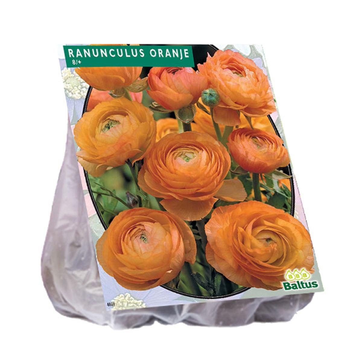 Reuze Ranonkel Oranje