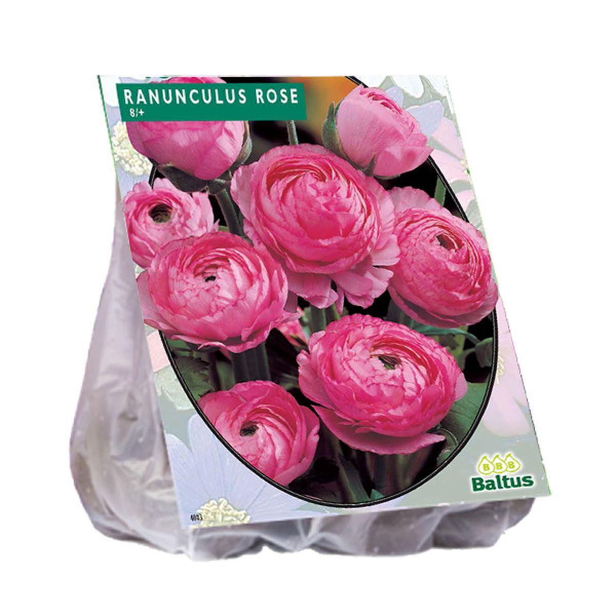 Reuze ranonkel roze