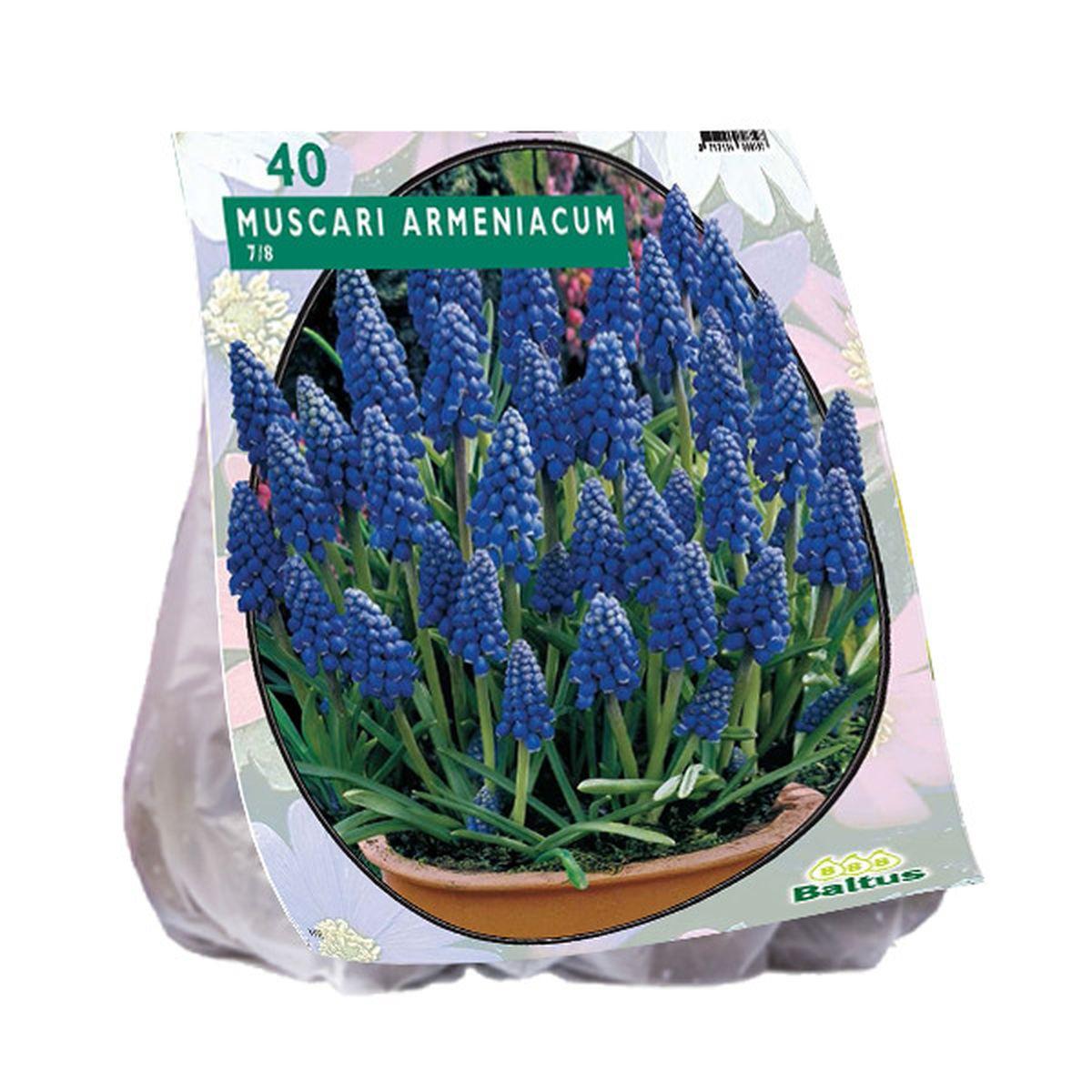 Blauwe druif - muscari armeniacum