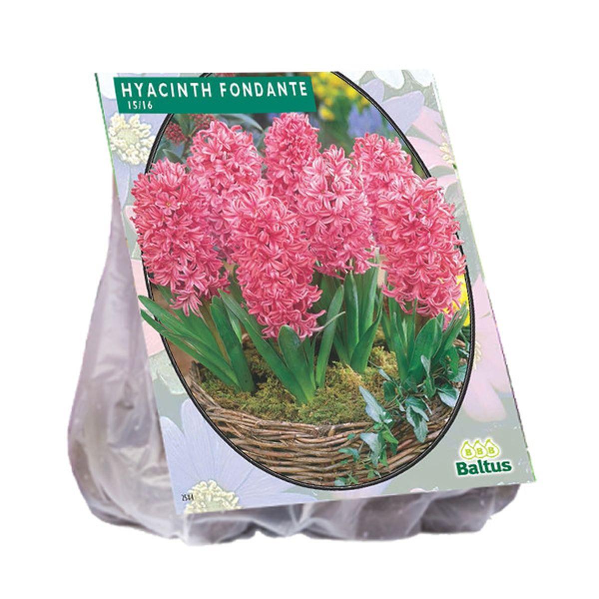 Hyacint Fondante