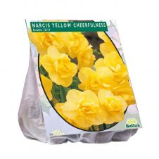 Narcis Cheerfulness - geel