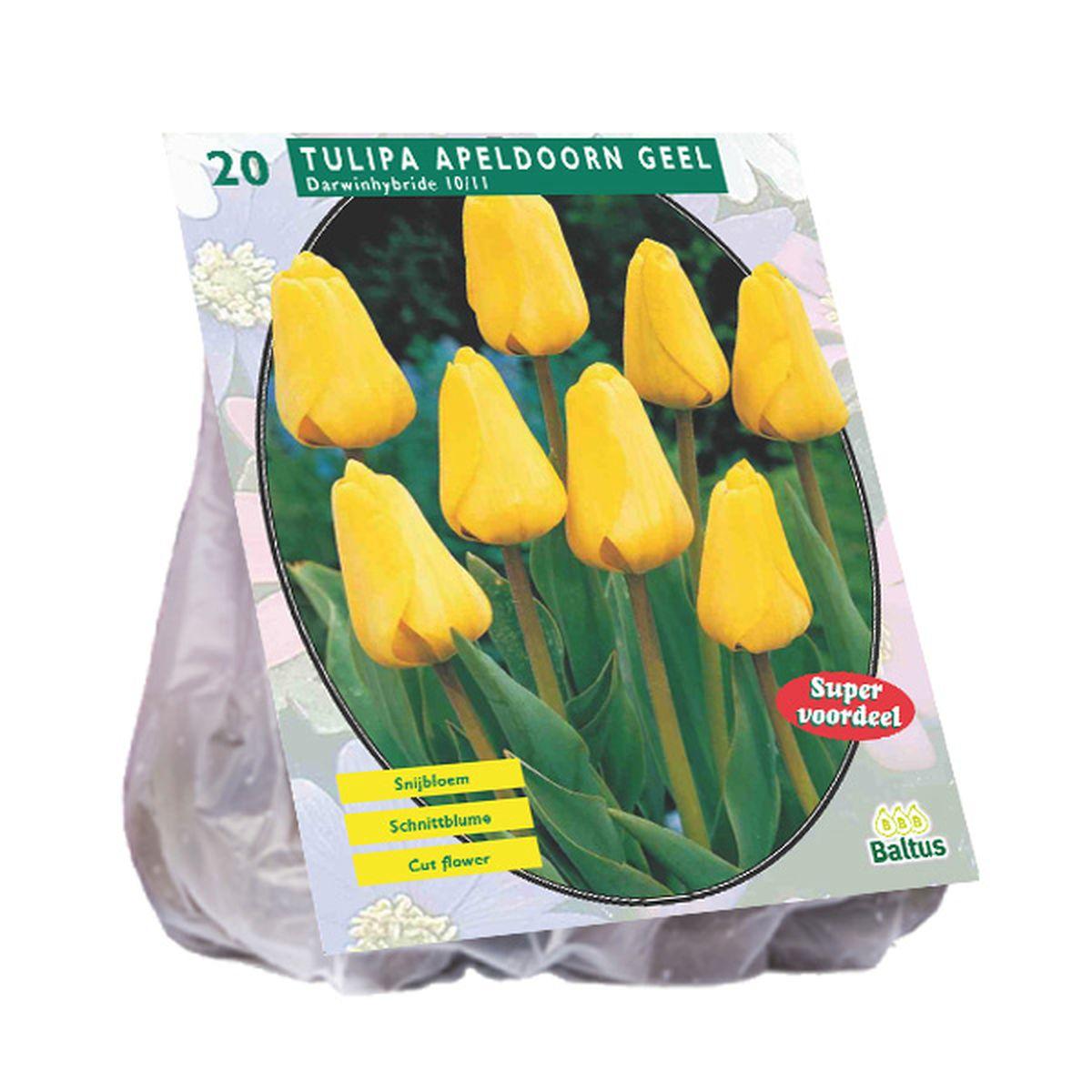 Tulp Apeldoorn - geel