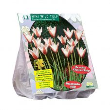 Mini Wildtulp Clusiana