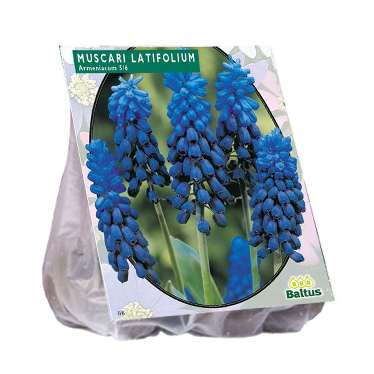 Blauwe druif Latifolium