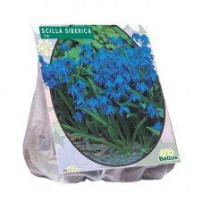 Sterhyacint Siberica