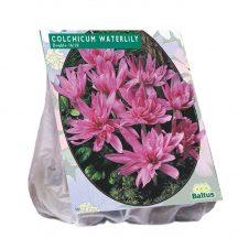 Herfsttijloos Waterlily