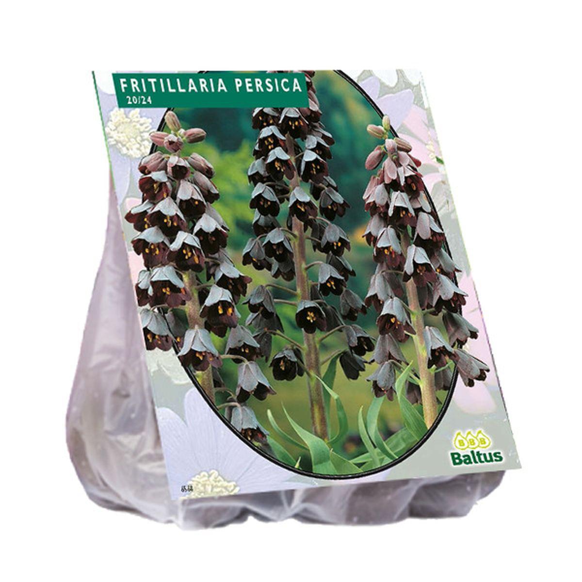 Fritillaria Persica