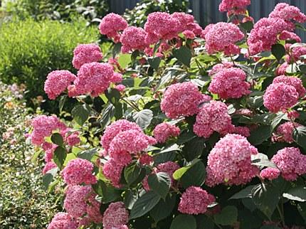 Sneeuwbalhortensia 'Pink Annabelle'