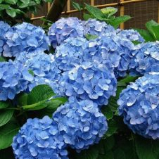 Boerenhortensia 'Early Blue'