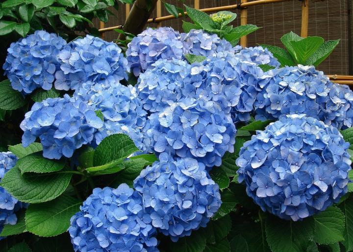 Boerenhortensia 'Early Blue'