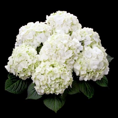 Boerenhorstensia 'First White'